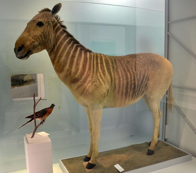 Quagga_Naturhistorisches_Museum_Basel_27102013_3